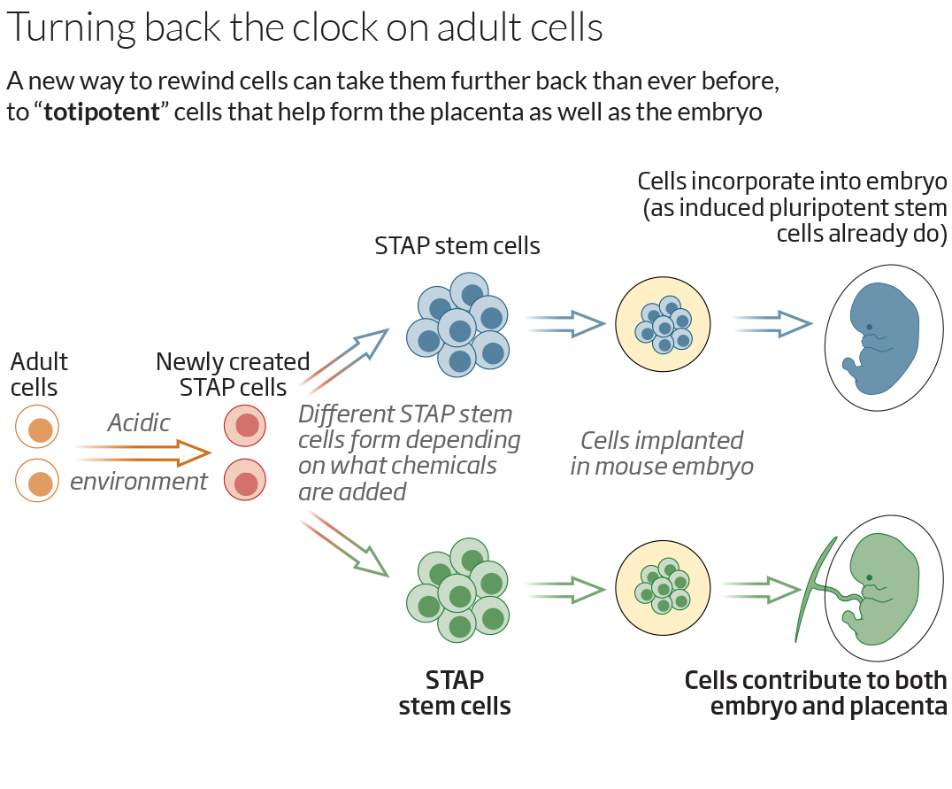 adult stem cell production of twins